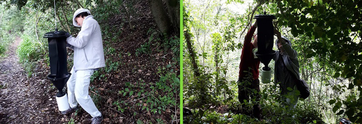 The installation of traps for the capture of the invasive alien species of Scolite beetle is underway these days.