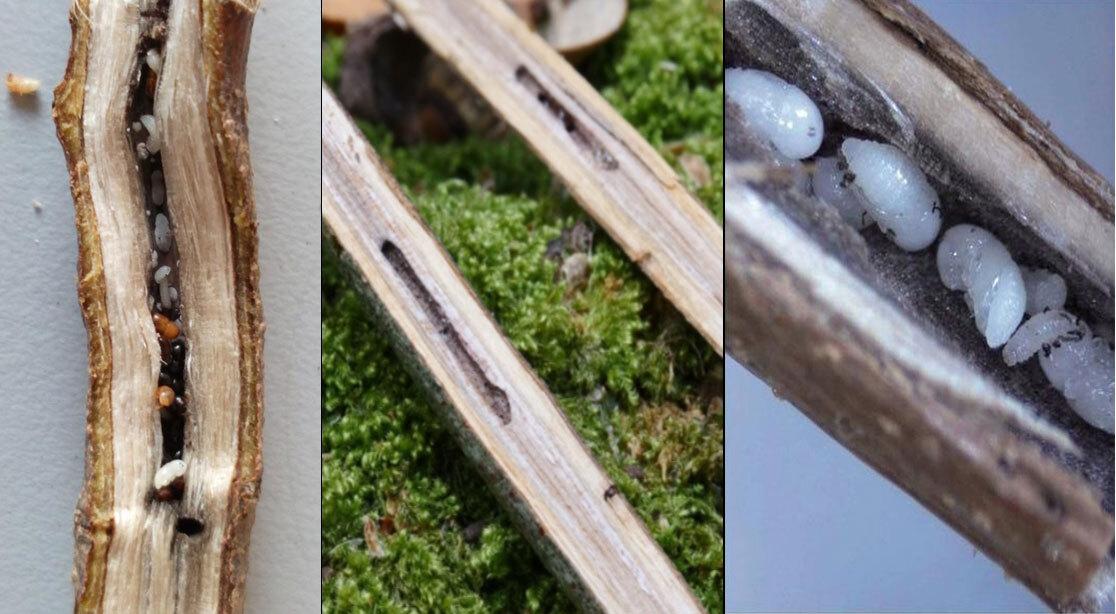 Un articolo scientifico pubblicato in Italia analizza lo Xylosandrus compactus